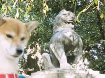 諏訪神社 谷根千 狛犬とまめ