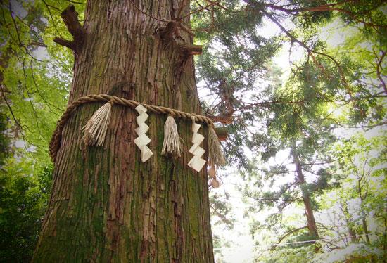 高尾山たこ杉
