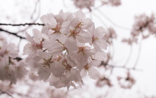 谷中霊園 桜の名所